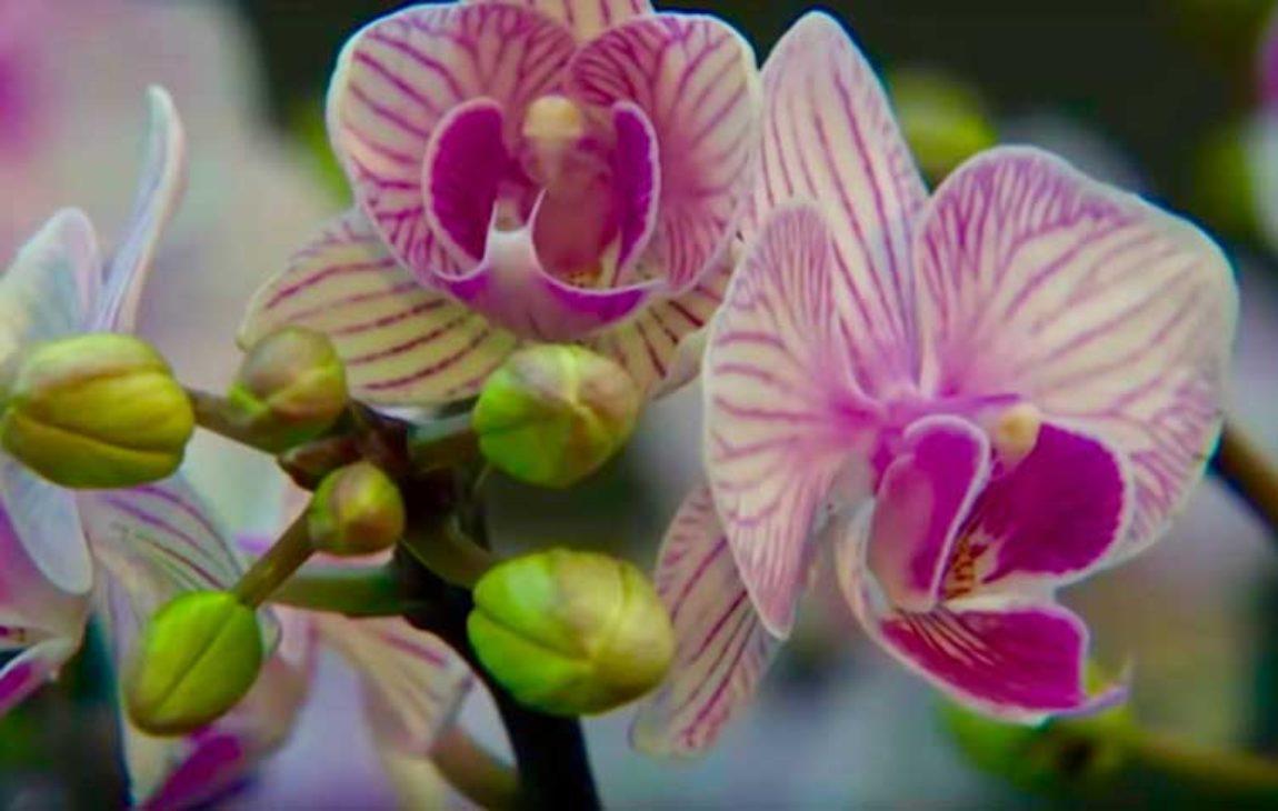 7_Orchideen